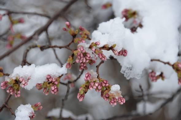 11日、春雪と桜花②