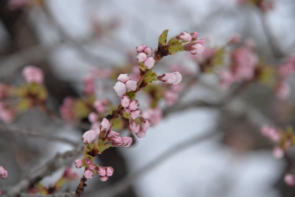11日、春雪と桜花③