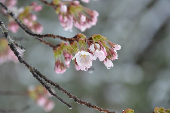 11日、春雪と桜花④