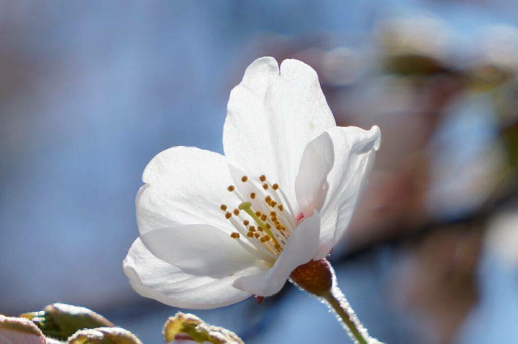 4月13日 春空・桜花②