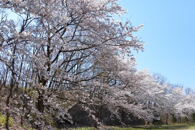 グラウンドの桜もすっかり開花