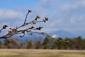 泉ヶ岳も白く、開花ももう少し
