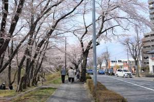 1㎞にも及ぶ桜並木
