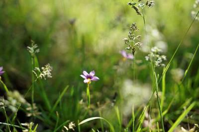 そっと咲く 小さき花の 名も知らぬ  (ニワゼキショウ)