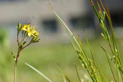 中庭に じしばりの花 ひっそりと