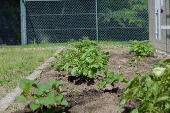 5月に植えたさつまいもも元気です。