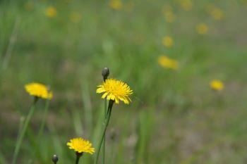 日当たりもよく「じしばり」の花も満開。