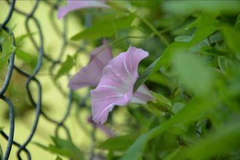 ユウガオの花も木陰で咲いていました。