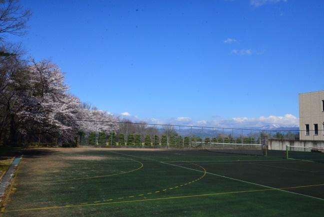 テニスコートから見た桜も泉ヶ岳も最高!
