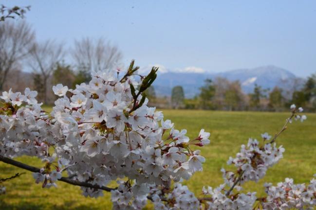 風雨、寒気に耐えた満開の桜