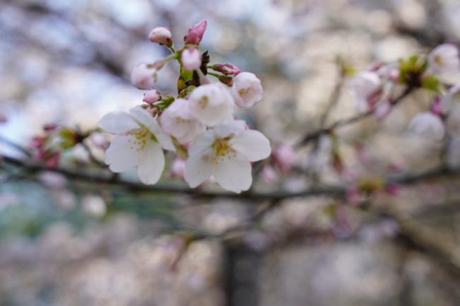 春の光に埋もれた恥ずかし気な桜花