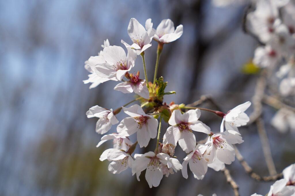 今年は暖冬の影響で2日には開花しはじめ、今週月曜日には満開でした。