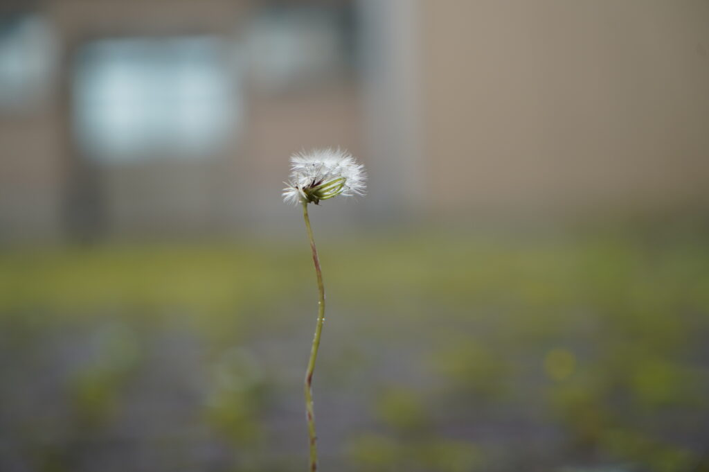 図書館前のタンポポの綿毛も雨で流されたようです。<br />